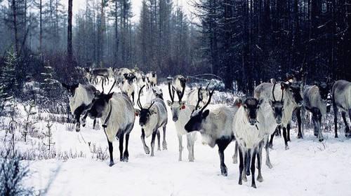 根河中国驯鹿之乡